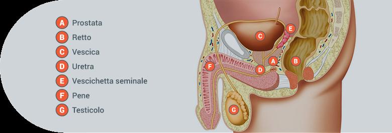 Apparato urinario maschile
